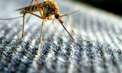 Samo jedna stvar zaista odbija komarce  %Post Title
