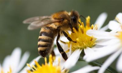 Tuga: Roboti menjaju pčele