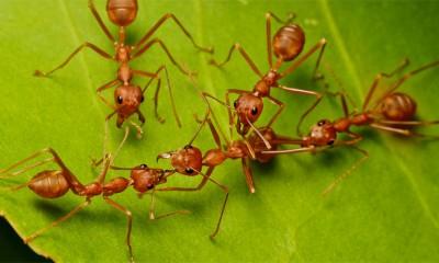 Mravi individualci dokazuju prednosti slobodnog društva  %Post Title