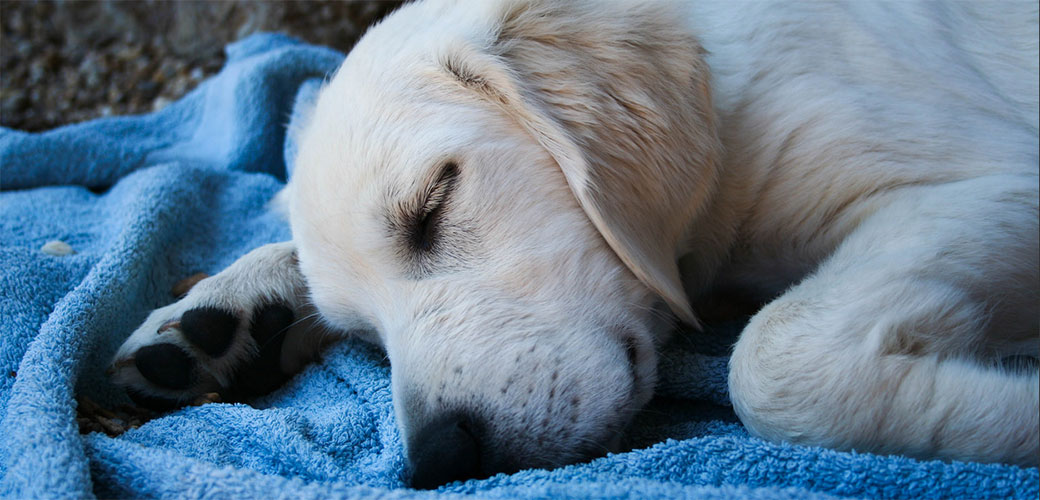 Slika: Evo o čemju psi sanjaju