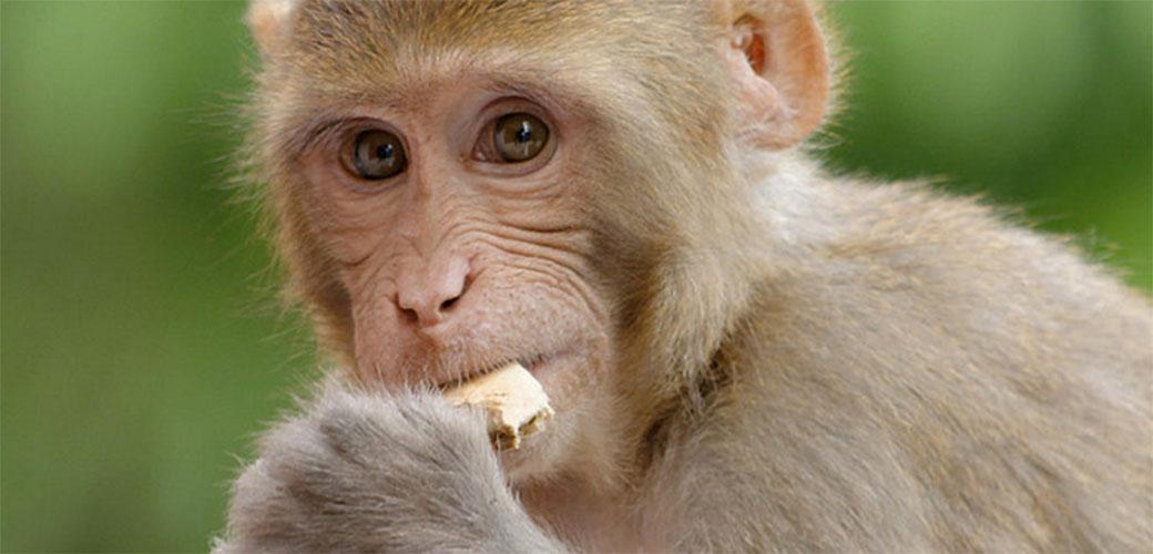 Majmun mafijaški bos je UHVAĆEN
