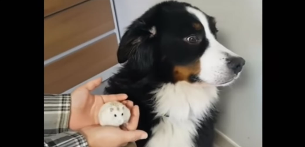 Slika: Pas šokiran ne želi ništa sa zlim hrčkom