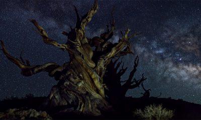 Koje je najstarije drvo (i živo biće) na svetu?
