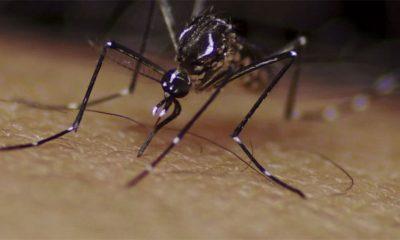 Stižu mutantski komarci
