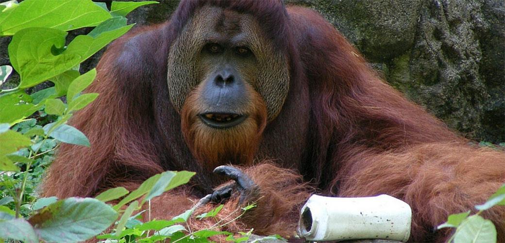 Otkrivena nova vrsta orangutana i već izumire