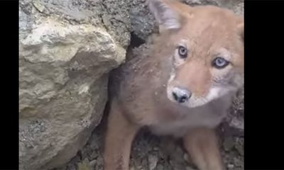 Beba kojot je presladak