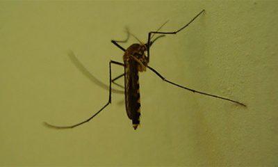 Komarci su pametniji nego što smo mislili