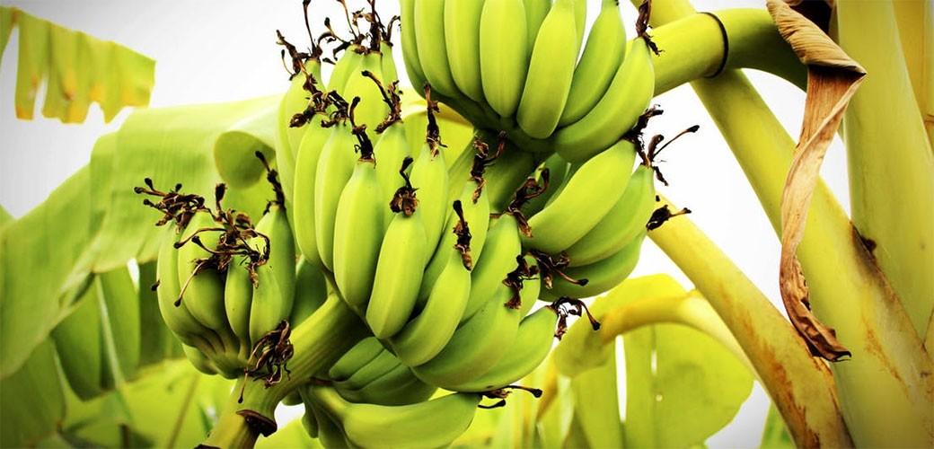 Zašto su banane toliko poskupele?