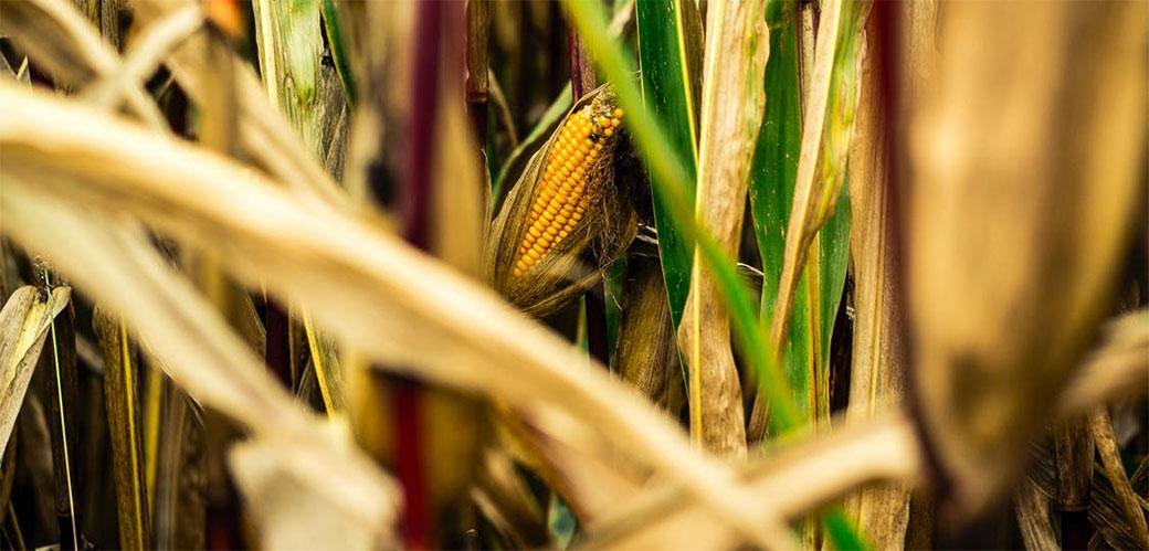 GMO kukuruz je zdraviji od običnog!