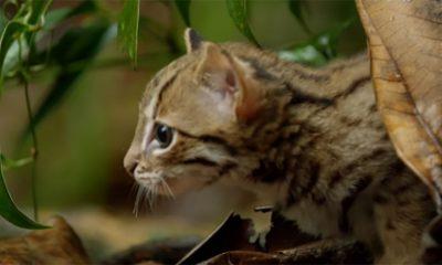 Najslađa i najmanja divlja mačka