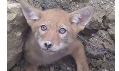 Beba kojot se zaglavio  %Post Title