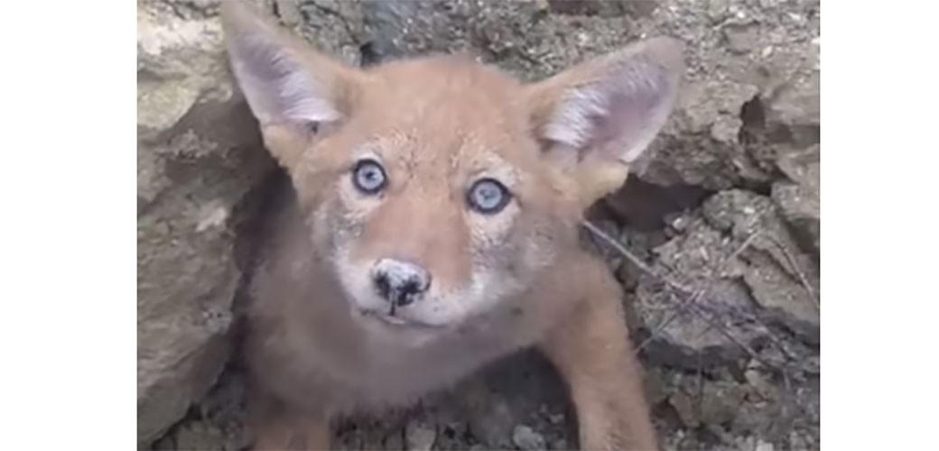 Beba kojot se zaglavio
