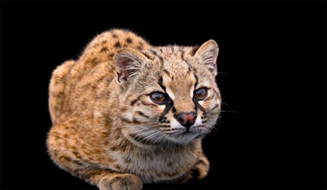najmanja-divlja-macka
